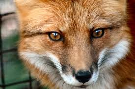 Beware the foxes when out networking!